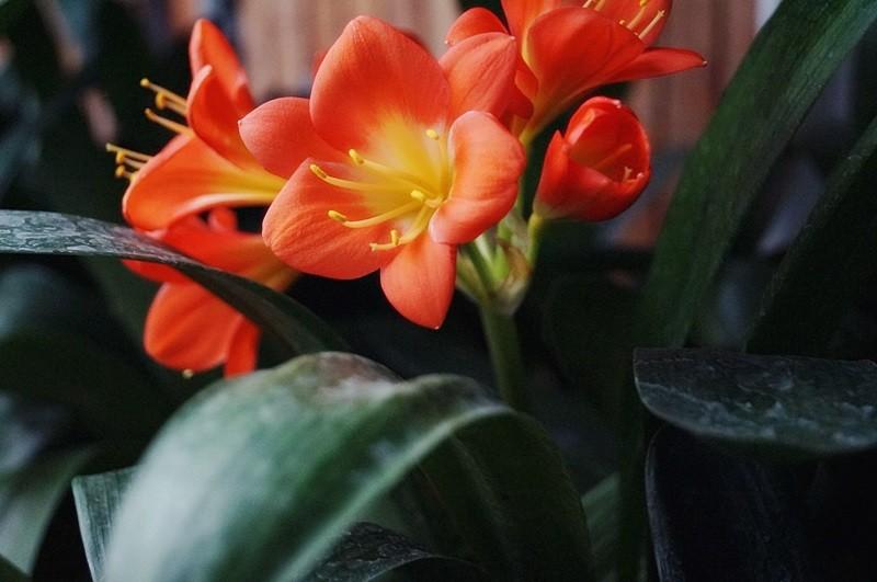 kwiaty doniczkowe naboże narodzenie