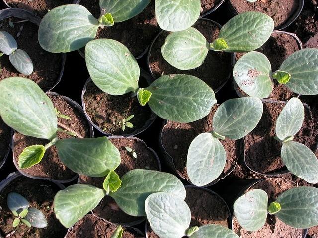 Jak przygotować rozsadę warzyw w domu ?