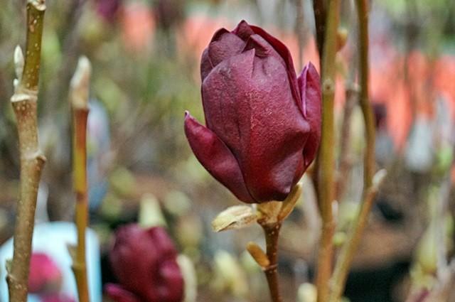 magnolia genie  gardenia
