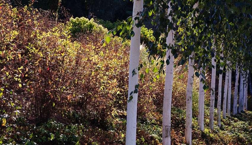 brzozy do ogrodu