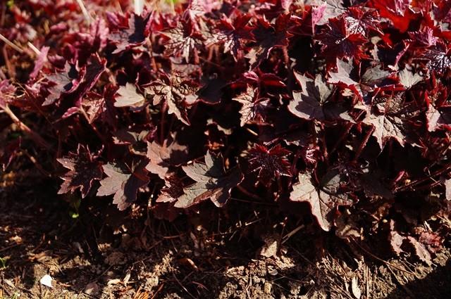 bordowe roślinyh