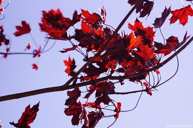 bordowe rośliny