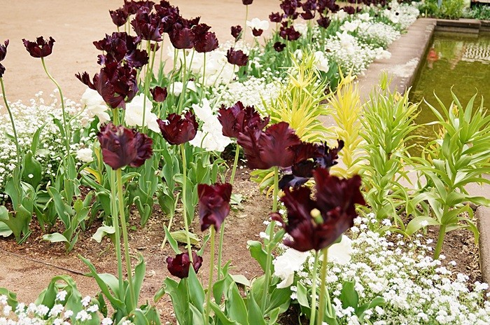 czarne tulipany