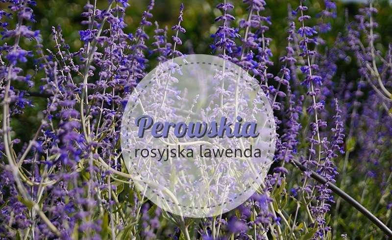 perowskia