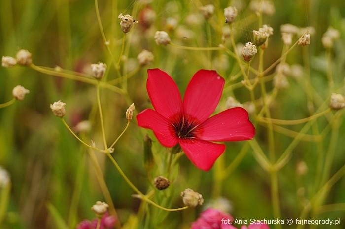 łąka kwietna kwiaty