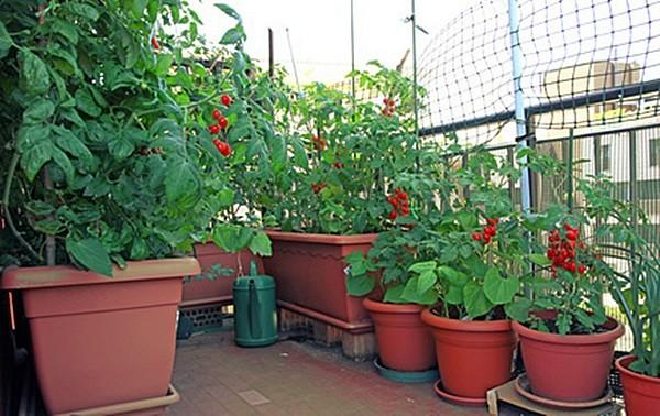 Warzywa I Zioła Na Mały Balkon