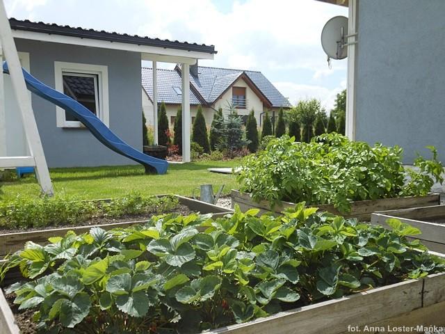 Ogródek warzywny ziemniaki