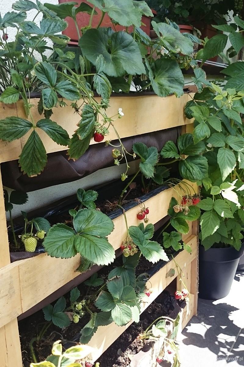 warzywnik na balkonie