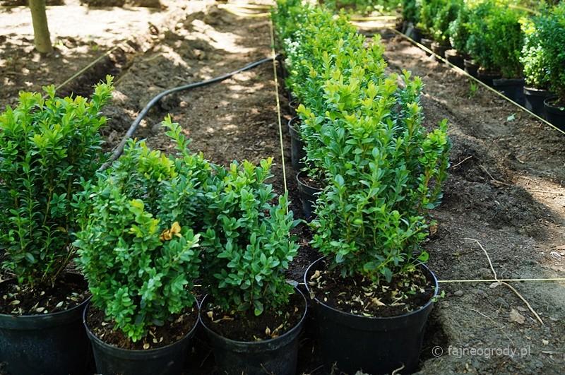 sadzenie labiryntu