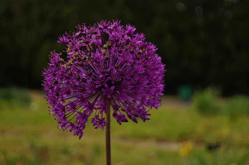 czosnek ozdobny najmodniejsze byliny