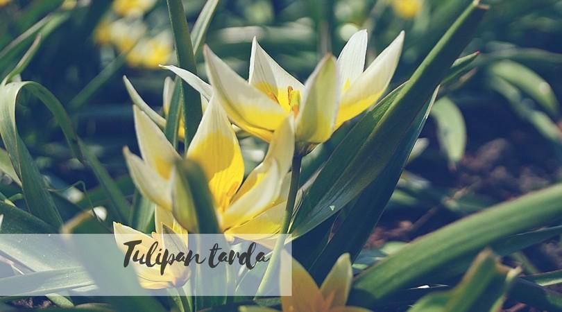 Tulipan tarda