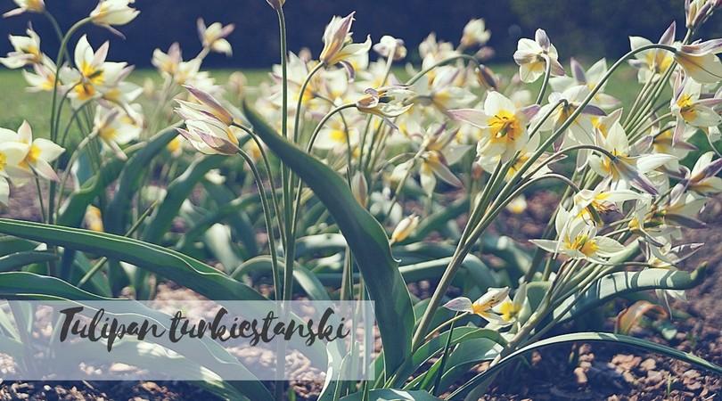 Tulipan turkiestański