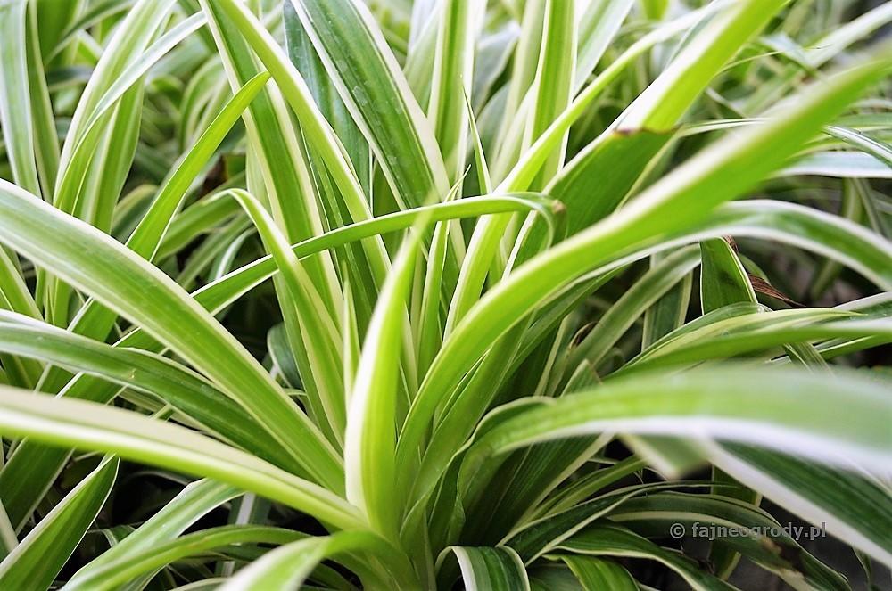 rośliny dobiura