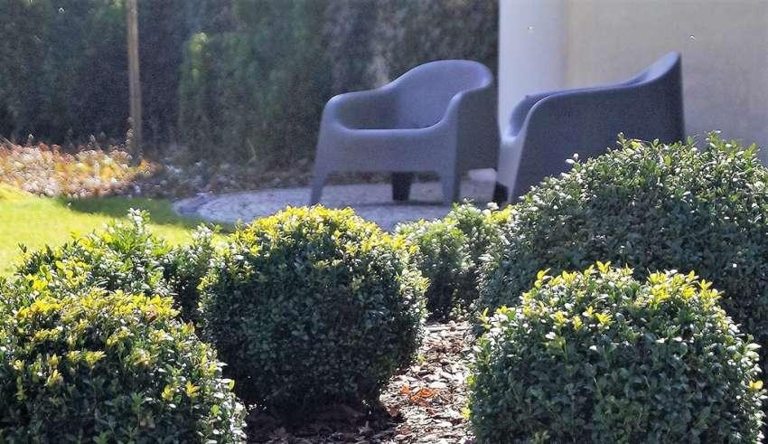 bukszpan w ogrodzie
