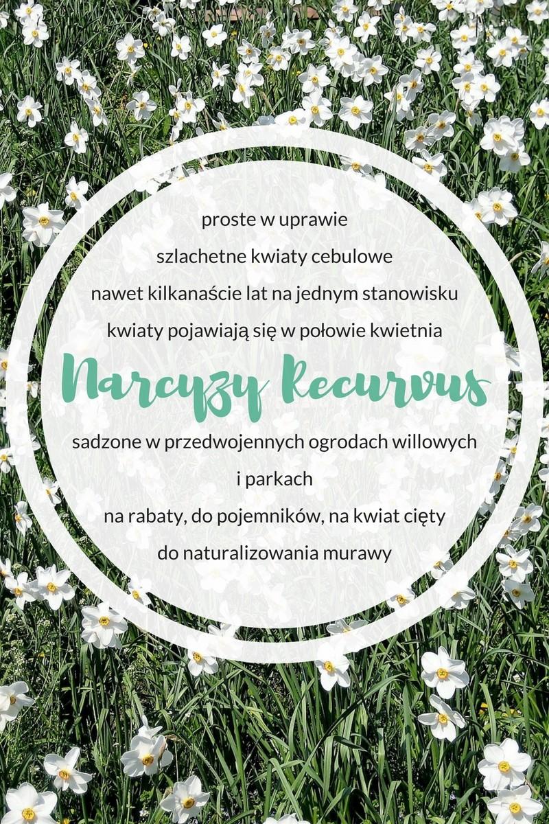 narcyzy recurvus