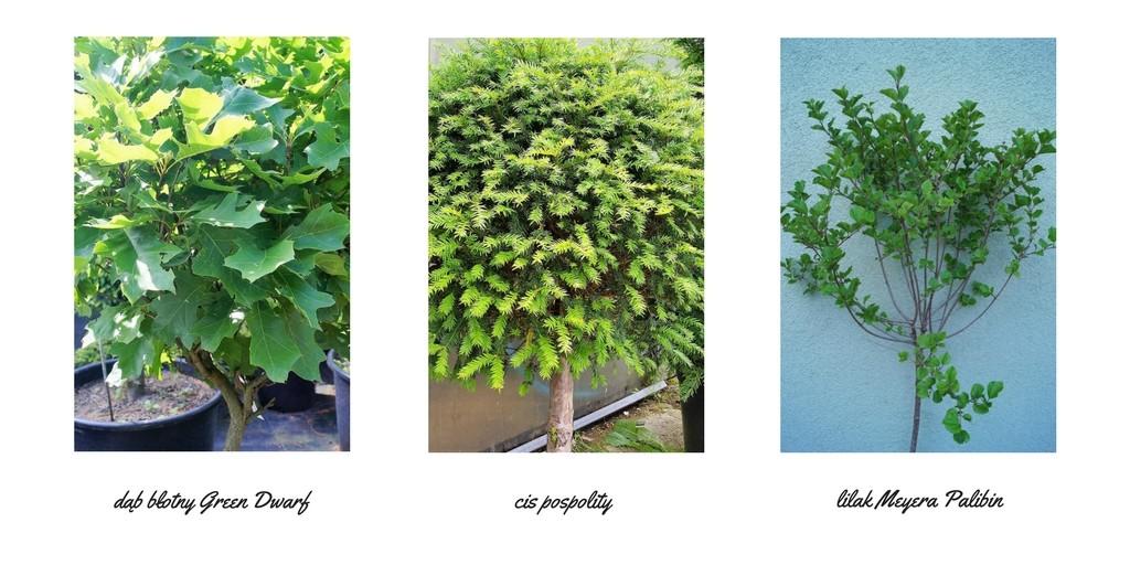 drzewka do małych ogrodów