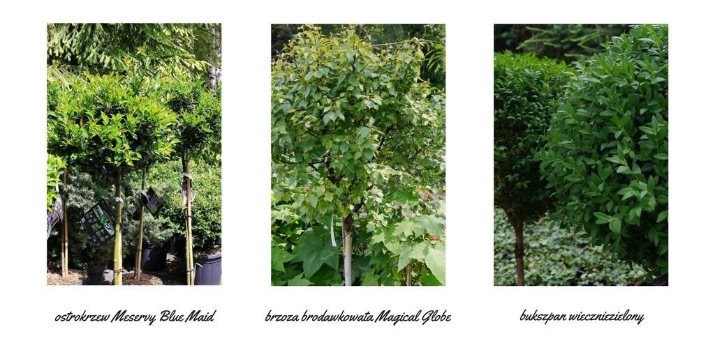 Kuliste drzewka domałych ogrodów