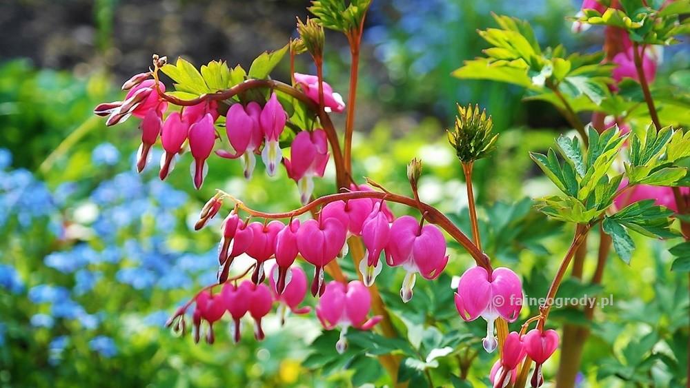 Rośliny docienistego ogrodu (6)