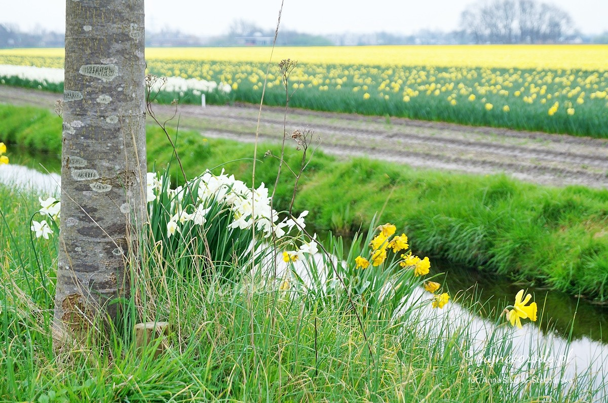 tulipanowe pola