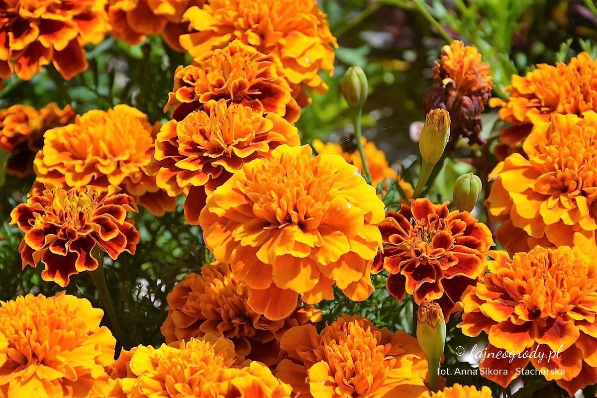 Kwiaty doogrodu warzywnego.