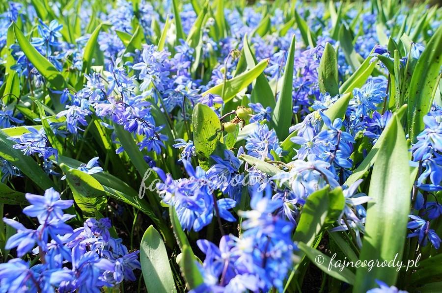 kwiaty cebulowe, cebule, cebulki, cebulica