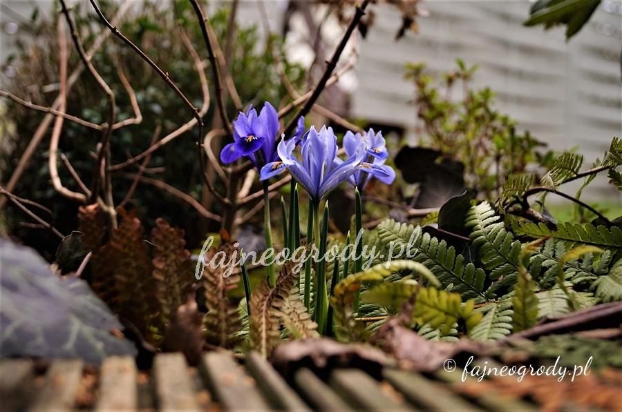 kwiaty cebulowe, wiosna, cebule