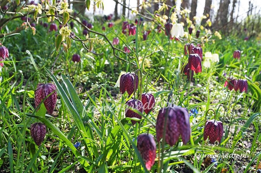 kwiaty cebulowe, szachownica