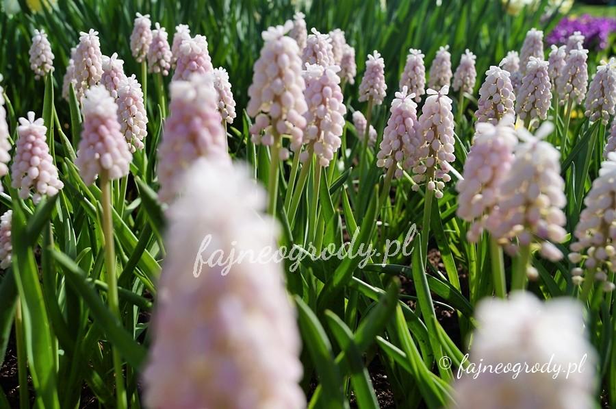 kwiaty cebulowe, cebulki, szafirki