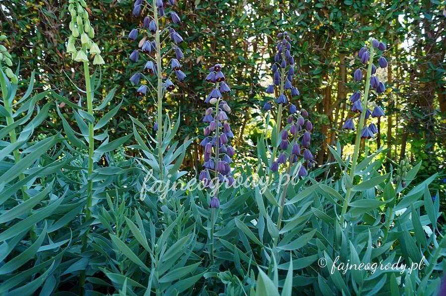 kwiaty cebulowe, szachownica perska