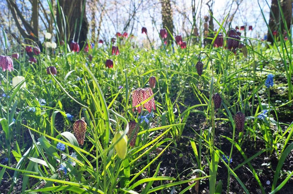 Wiosenna łąka kwietna zkwiatów cebulowych; kwiaty cebulowe