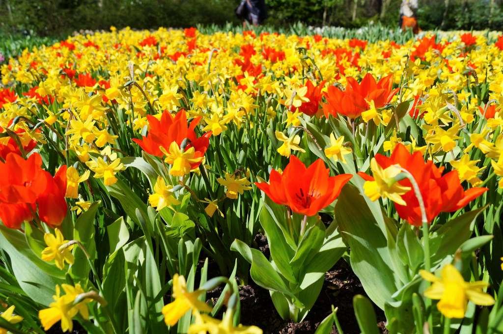 łąka kwietna zkwiatów cebulowych