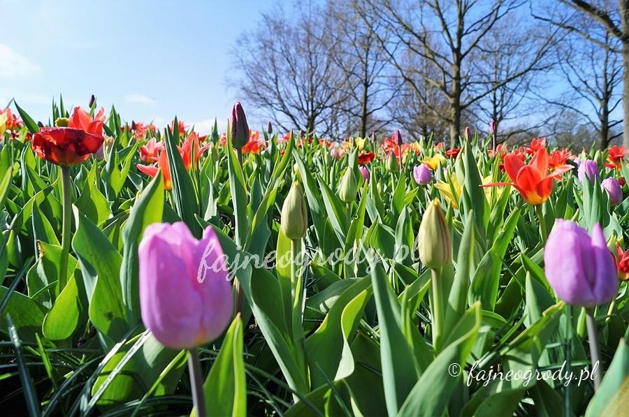 tulipany, cebule, kwiaty cebulowe