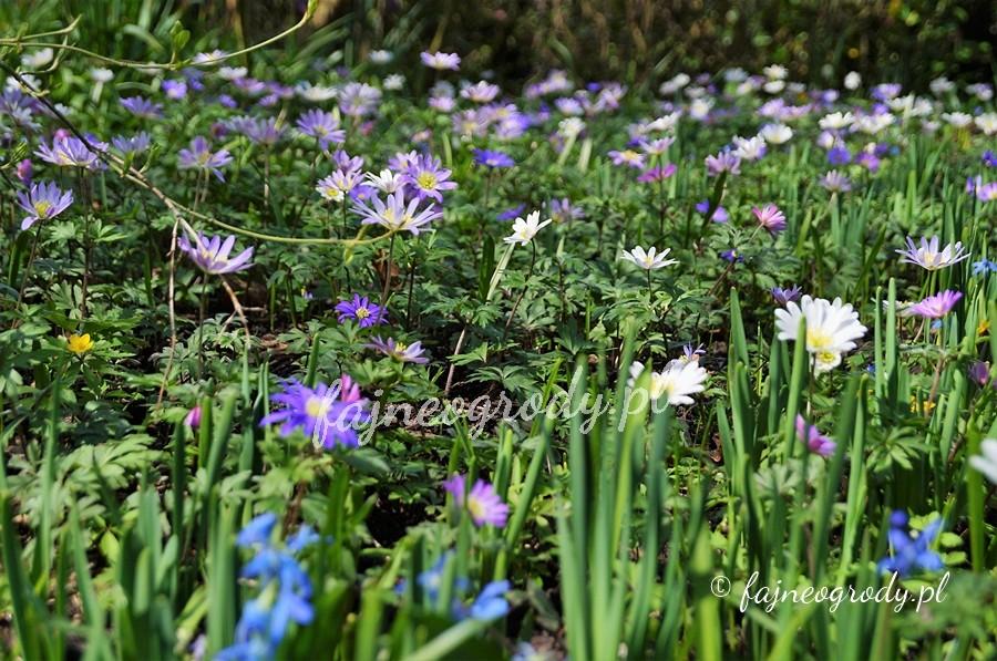 zawilec grecki , kwiaty cebulowe
