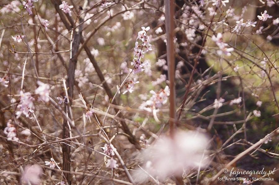krzewy kwitnące wczesną wiosną