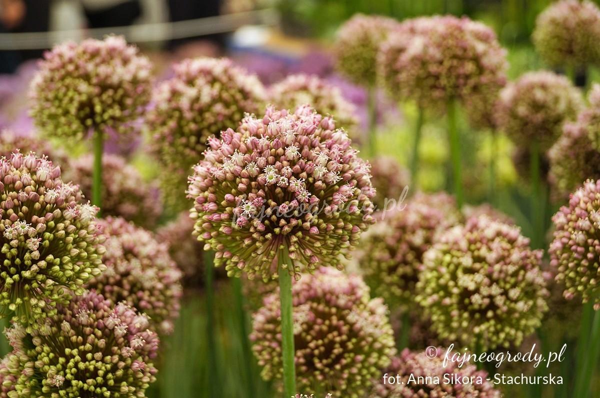 Allium ampeloprasum 'Pink Lady'