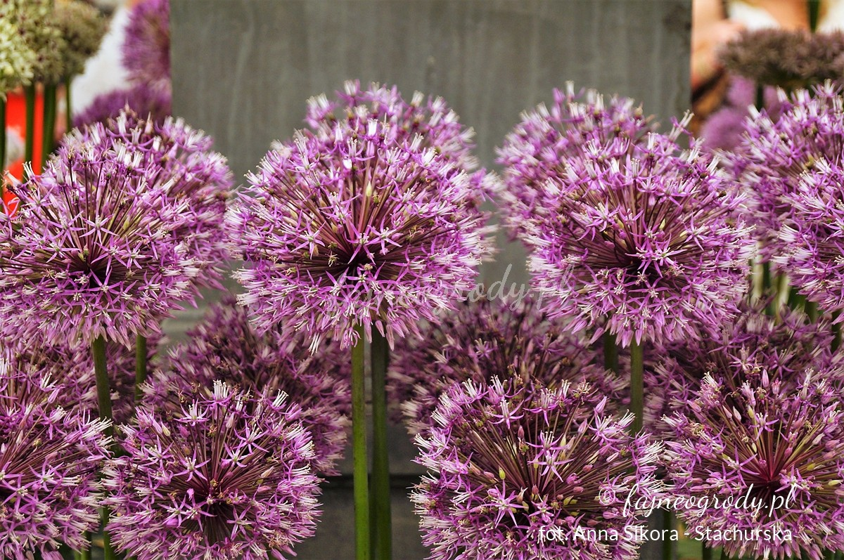 Allium jesdianum 'Early Emperor'